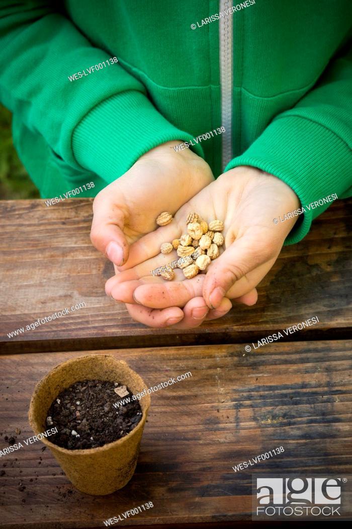 Stock Photo: Girl holding seeds of nasturtium, Tropaeolum majus.