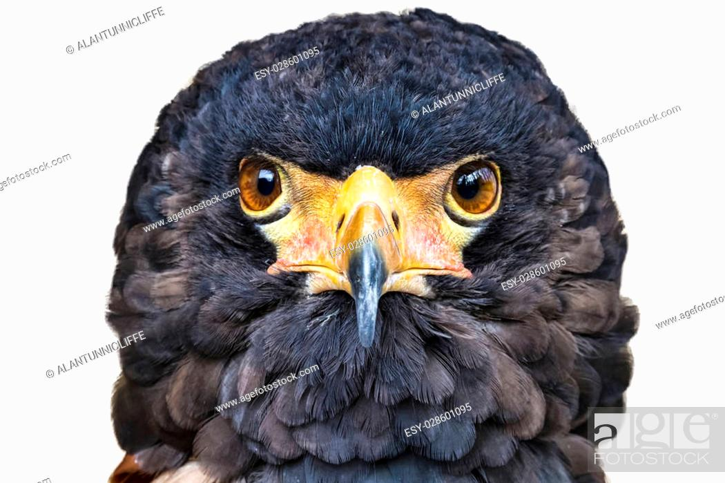 Stock Photo: Close up head portrait of a Bateleur eagle with its face feathers displayed. Head profile against a white background.