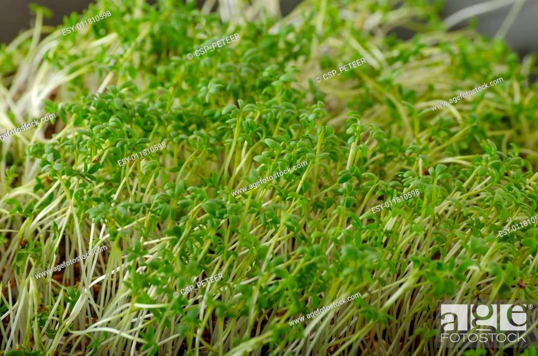 Home Grown Microgreens Watercress No Chemicalsscrambled Eggs