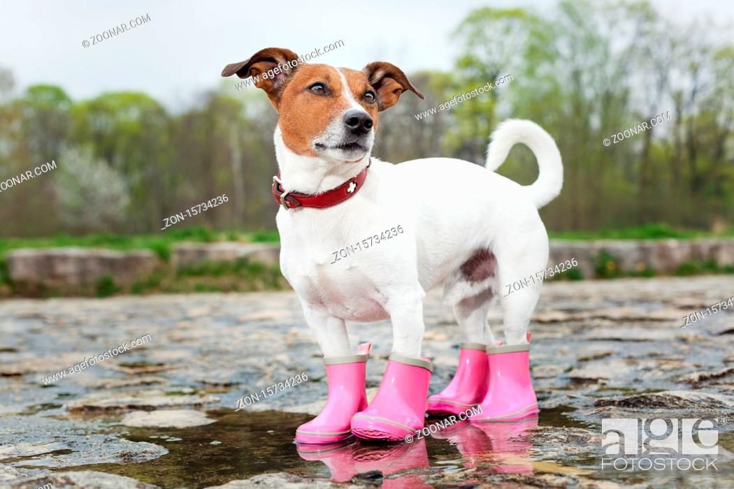 Stock Photo: dog wearing pink rubber boots inside a puddle.
