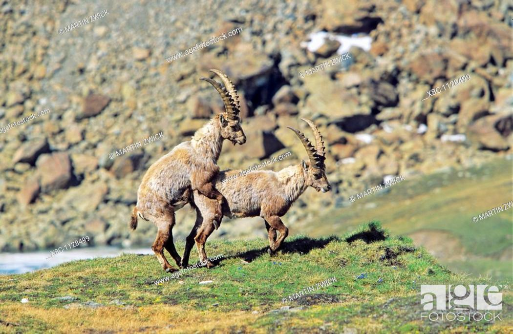 Stock Photo: Alpine Ibex Capra ibex two young bulls bulling on a cliff  Homosexual behaviour is widespread in the animal kingdom, however the interpretation of such a.