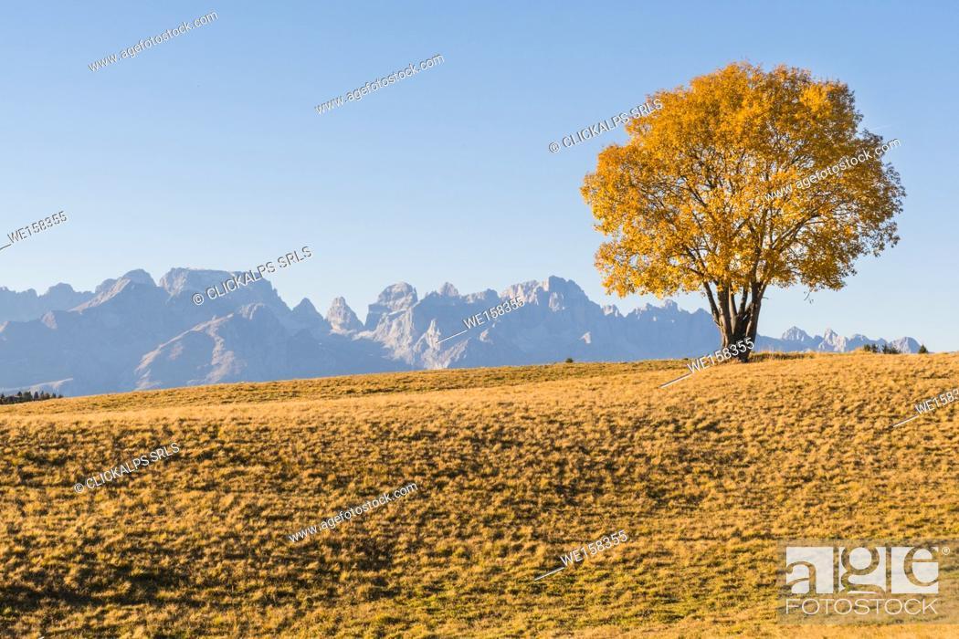 Stock Photo: A yellow tree with Brenta dolomites in backgruond in autumn. Monte Bondone, Trento, Trentino, Italy.