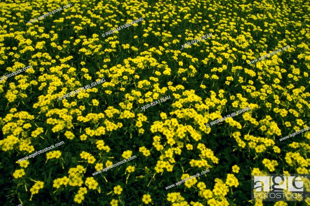 Stock Photo: High angle view of a meadow of yellow flowers.