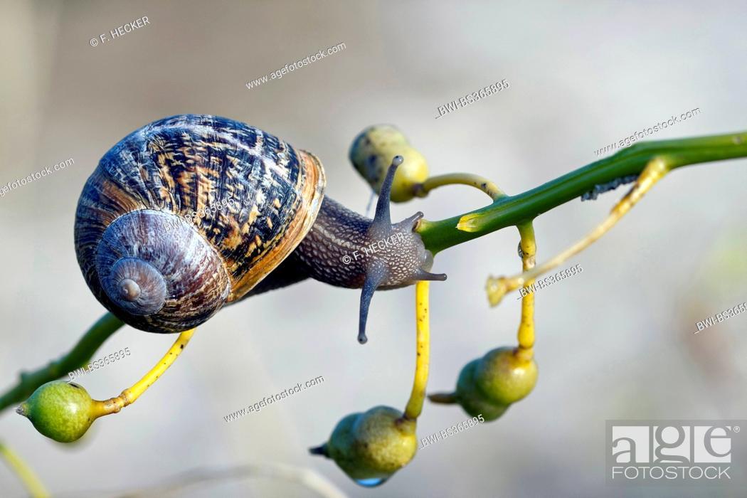 Stock Photo: brown garden snail, brown gardensnail, common garden snail, European brown snail (Helix aspersa, Cornu aspersum, Cryptomphalus aspersus), on a twig, Germany.