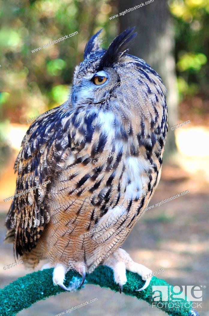 Stock Photo: Great Horned Owl.