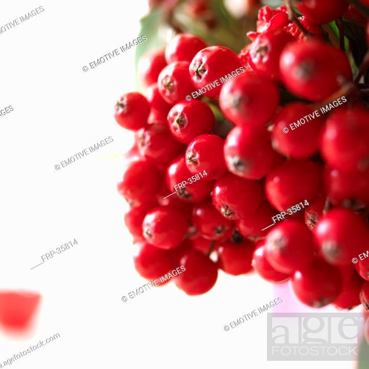 Stock Photo: close-up rowan berries.