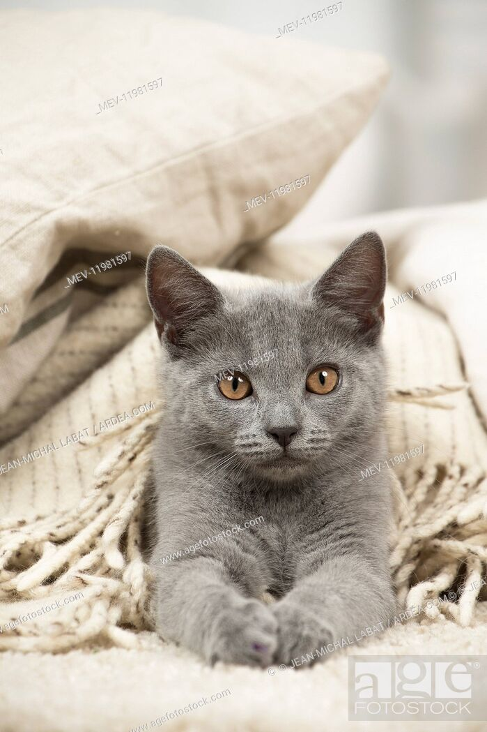 Stock Photo: Chartreux cat indoors.