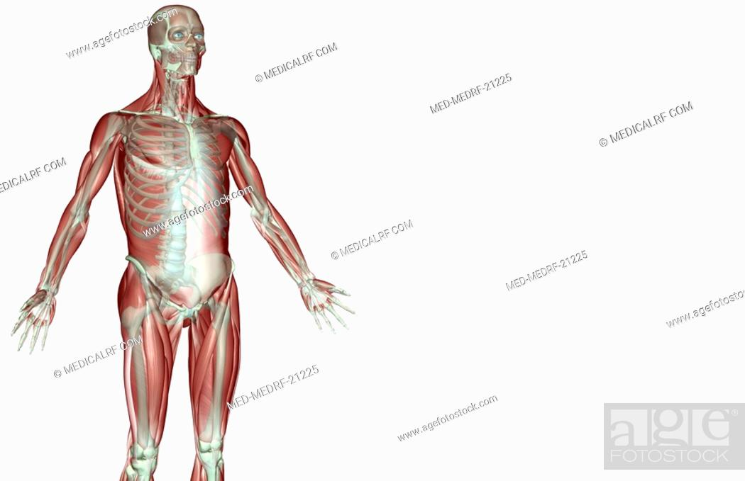 Stock Photo: The musculoskeleton of the upper limb.