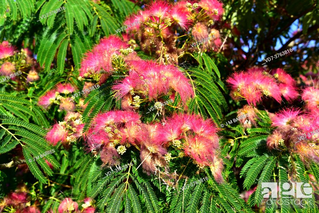 Stock Photo: Persian silk tree or pink silk tree (Albizia julibrissin) is an ornamental deciduous tree native to Asia. Flowers and leaves detail.