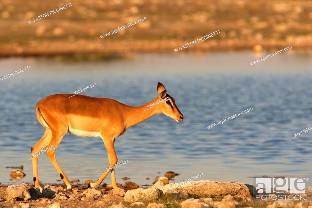 Imagen: Black-faced impala Aepyceros melampus , Etosha National Park, Namibia, Africa.