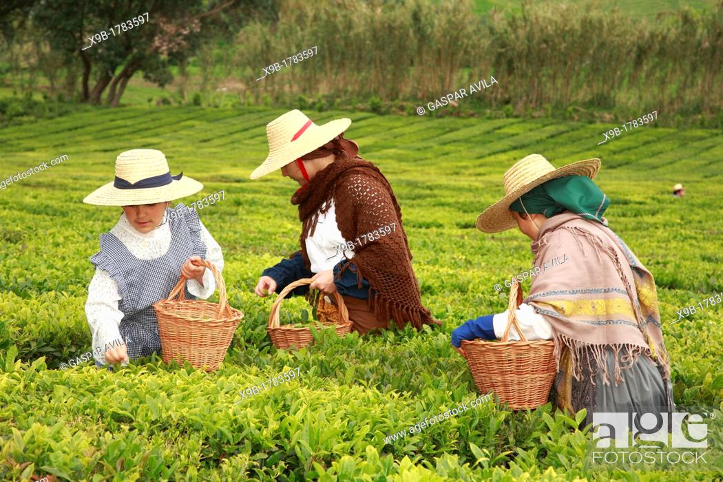 Stock Photo: Workers picking tea leaves in Porto Formoso tea gardens while wearing traditional garments  Sao Miguel, Azores, Portugal.