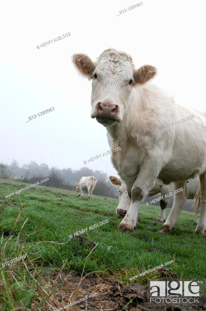 Stock Photo: Charolais cow.