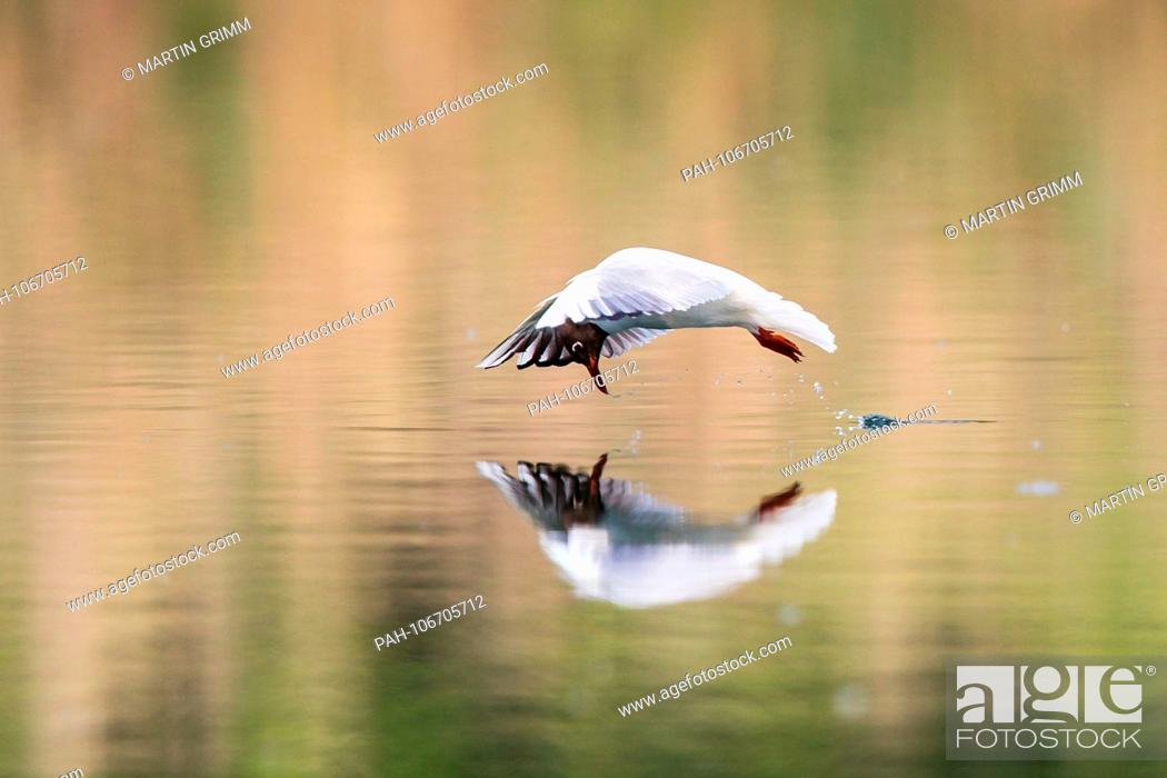 Stock Photo: Black-headed Gull (Larus ridibundus), flying over water surface hunting insects, Baden-Wuerttemberg, Germany | usage worldwide.