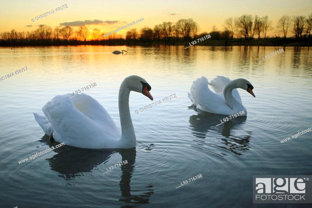 Stock Photo: Mute Swan, Cygnus olor, Adult, Germany.