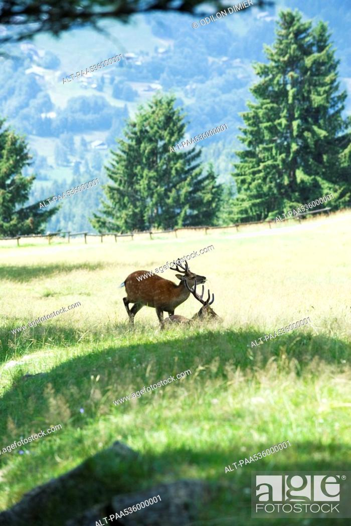 Stock Photo: Two bucks in a sunny meadow.