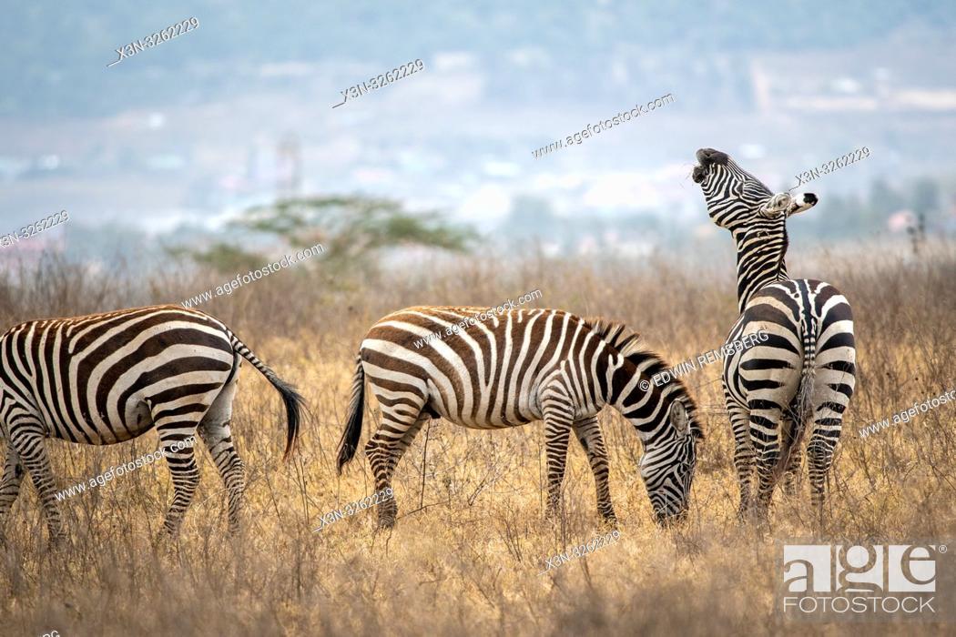 Stock Photo: Grant's zebra (Equus quagga boehmi) Nakuru National Park, Kenya.