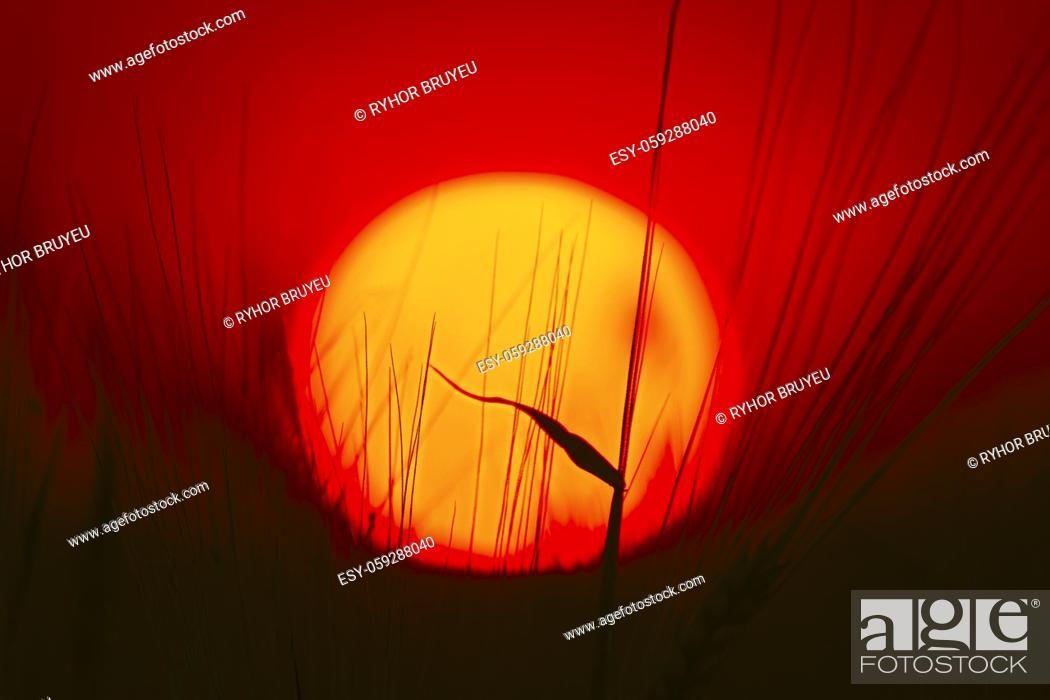 Stock Photo: Summer Sun Shining Through Young Wheat Sprouts. Sunset Sunrise Sun. Close up, Details.