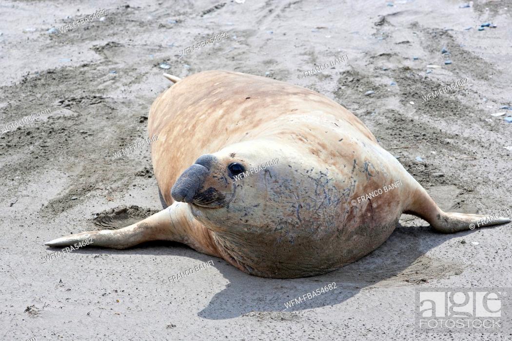 Imagen: Male Southern Elephant Seal, Mirounga leonina, Valdes Peninsula, Patagonia, Argentina.