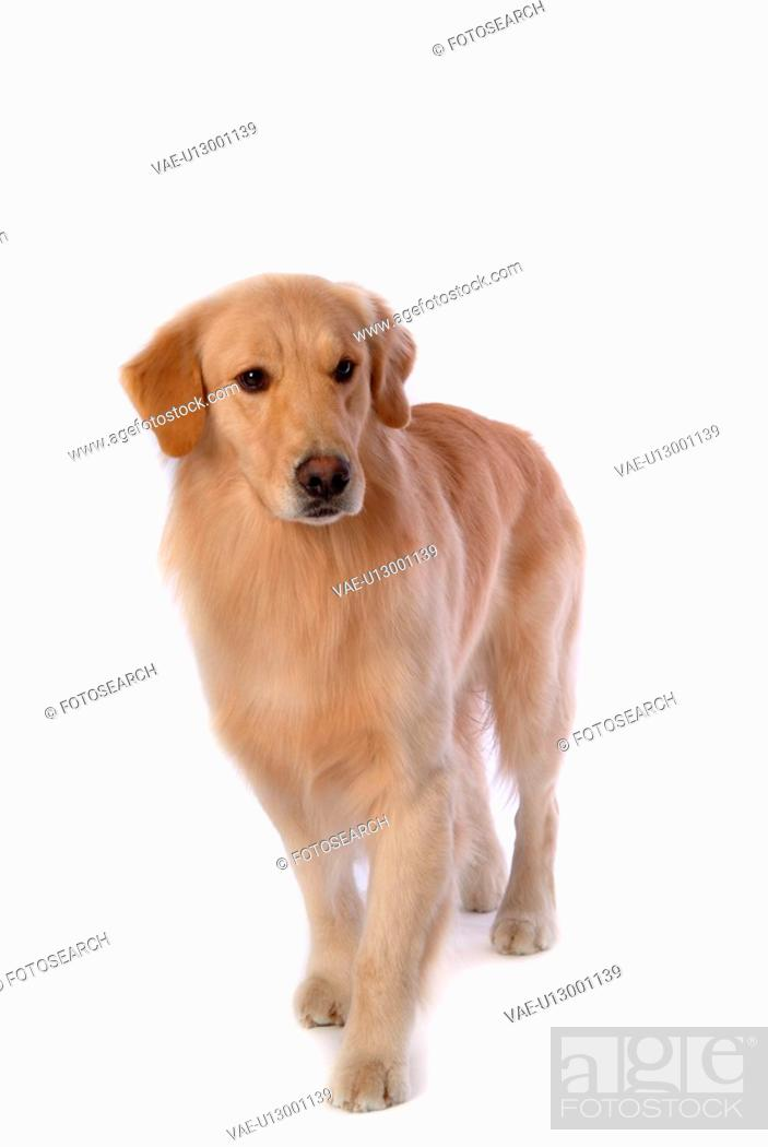 Stock Photo: canine, domestic animal, closeup, close up, looking down, companion, golden retriever.