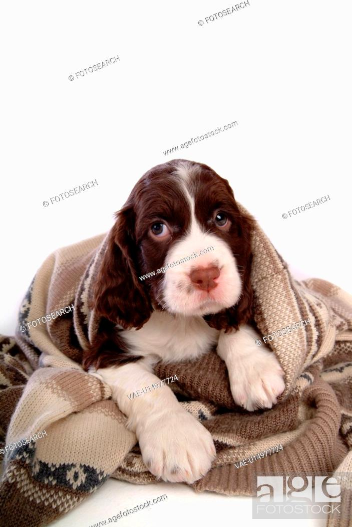 Stock Photo: house pet, springer spaniel, canines, domestic, spaniel, pose, english springer spaniel.