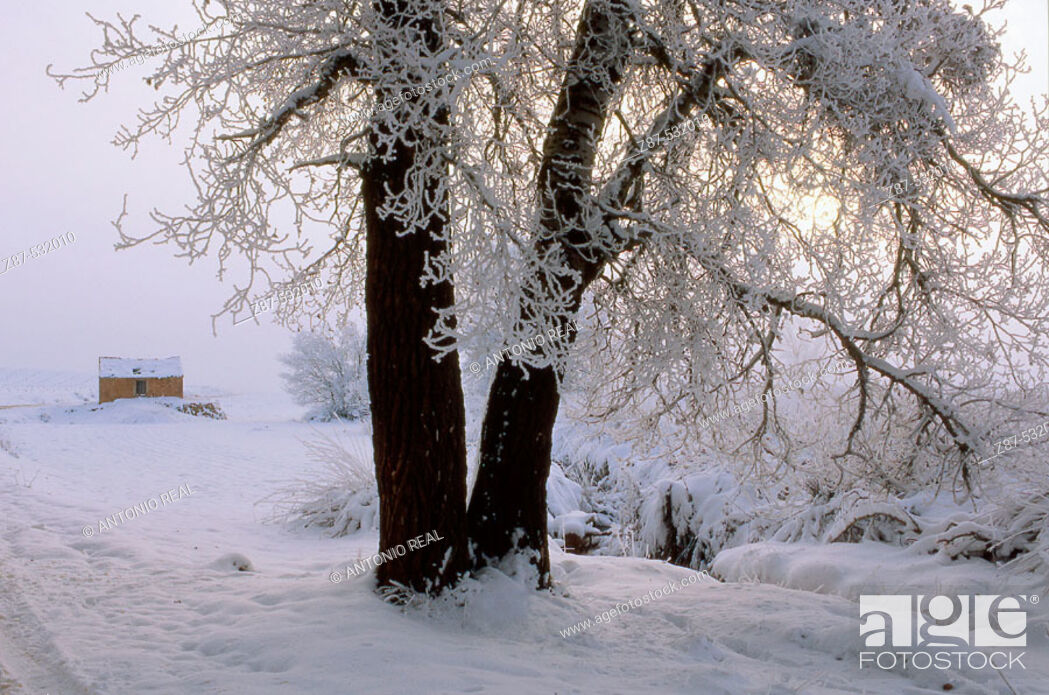 Imagen: Frozen White Poplar (Populus alba), Almansa. Albacete, Castilla-La Mancha, Spain.