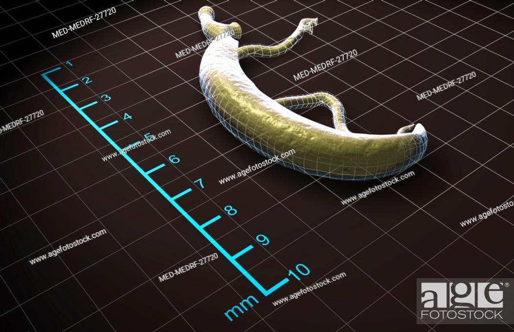 Stock Photo: Schistosoma.