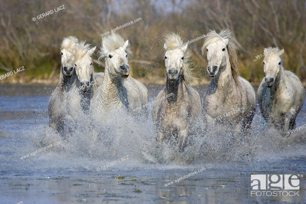 Stock Photo: Camargue Horse, Herd standing in Swamp, Saintes Marie de la Mer in Camargue, in the South of France.