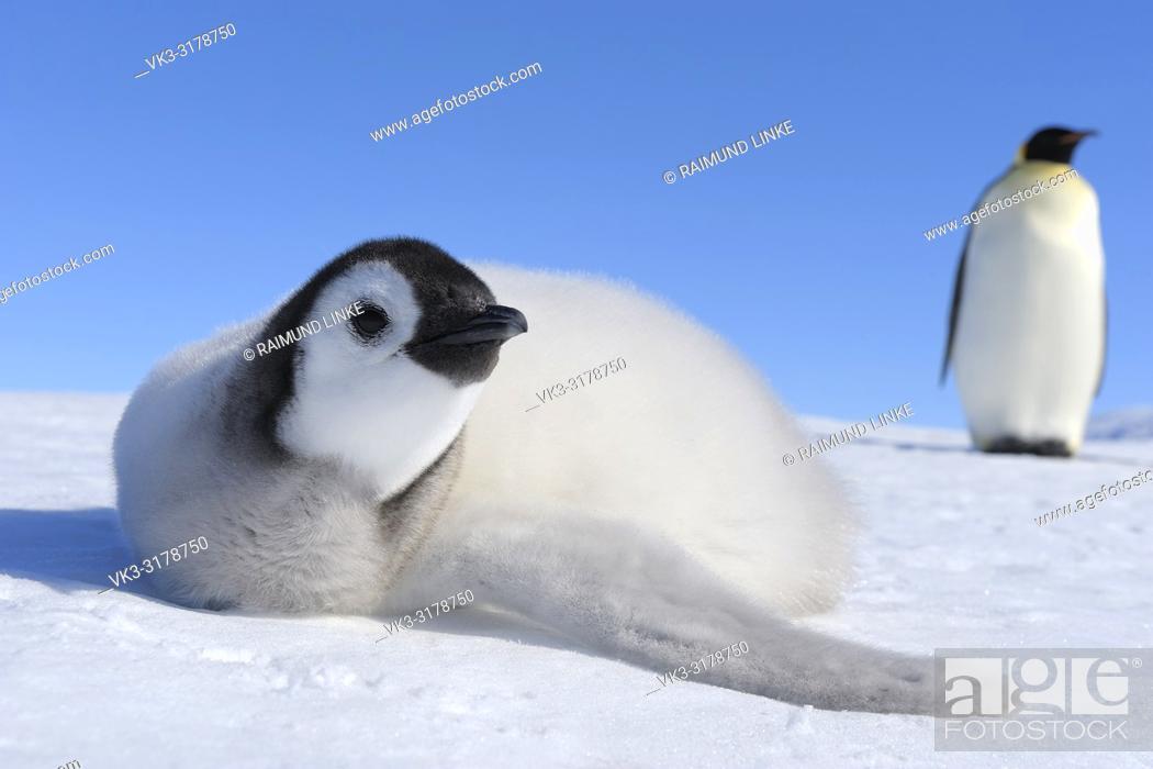 Imagen: Emperor penguins, Aptenodytes forsteri, Chick is Lying on Ice, Snow Hill Island, Antartic Peninsula, Antarctica.