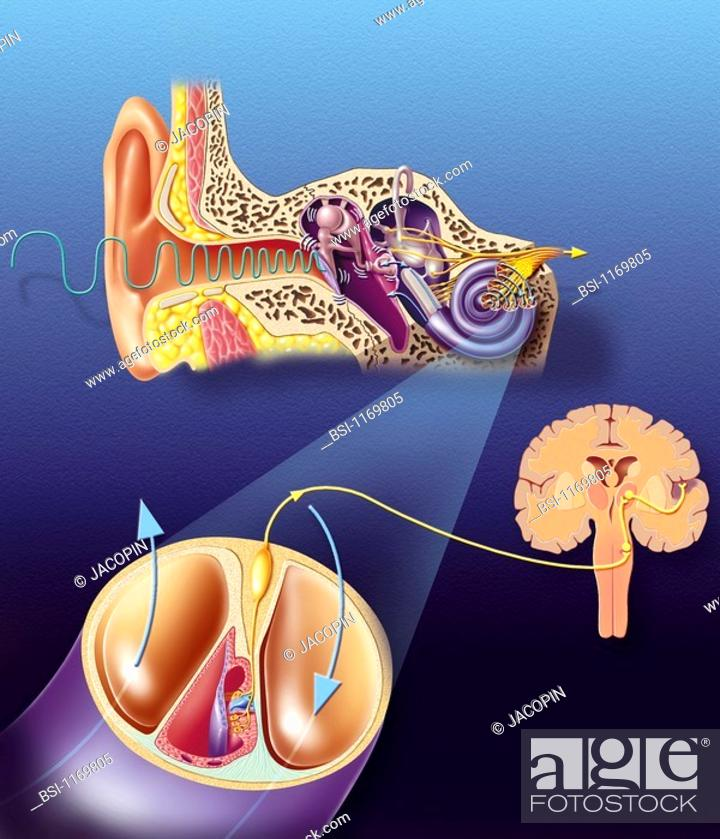 HEARING<BR>Anatomy of the ear, from left to right: - Outer ear ...