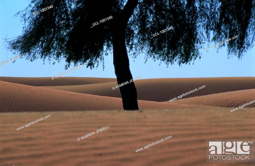 Stock Photo: Tree in the desert, UAE.