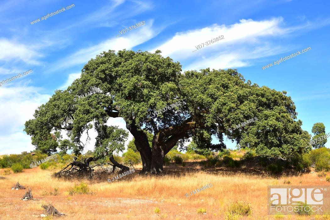 Stock Photo: Evergreen oak, holm oak or holly oak (Quercus ilex ballota or Quercus ilex rotundifolia) is an evergreen tree native to western Mediterranean region.