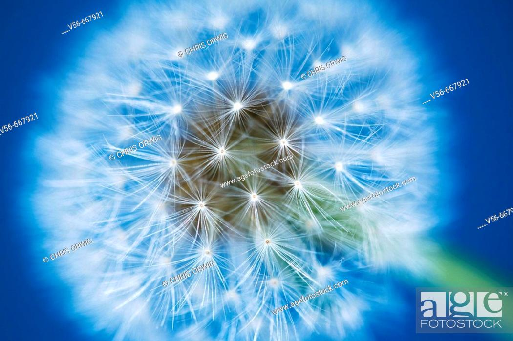 Stock Photo: Dandelion in front of a blue sky.