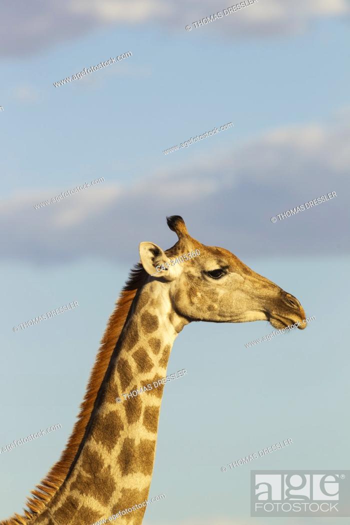 Stock Photo: Southern Giraffe (Giraffa giraffa). Female. Kalahari Desert, Kgalagadi Transfrontier Park, South Africa.