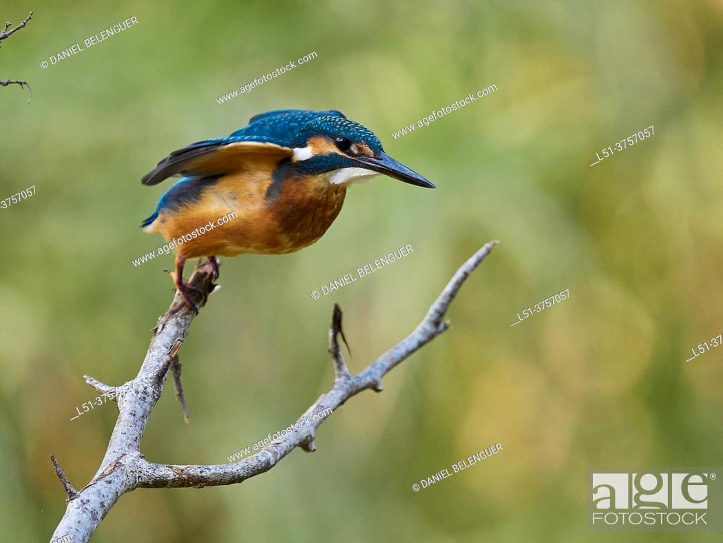 Photo de stock: Kingfisher (Alcedo Atthis) taking off, Villahermosa river, Ludiente, Castellón, Spain.