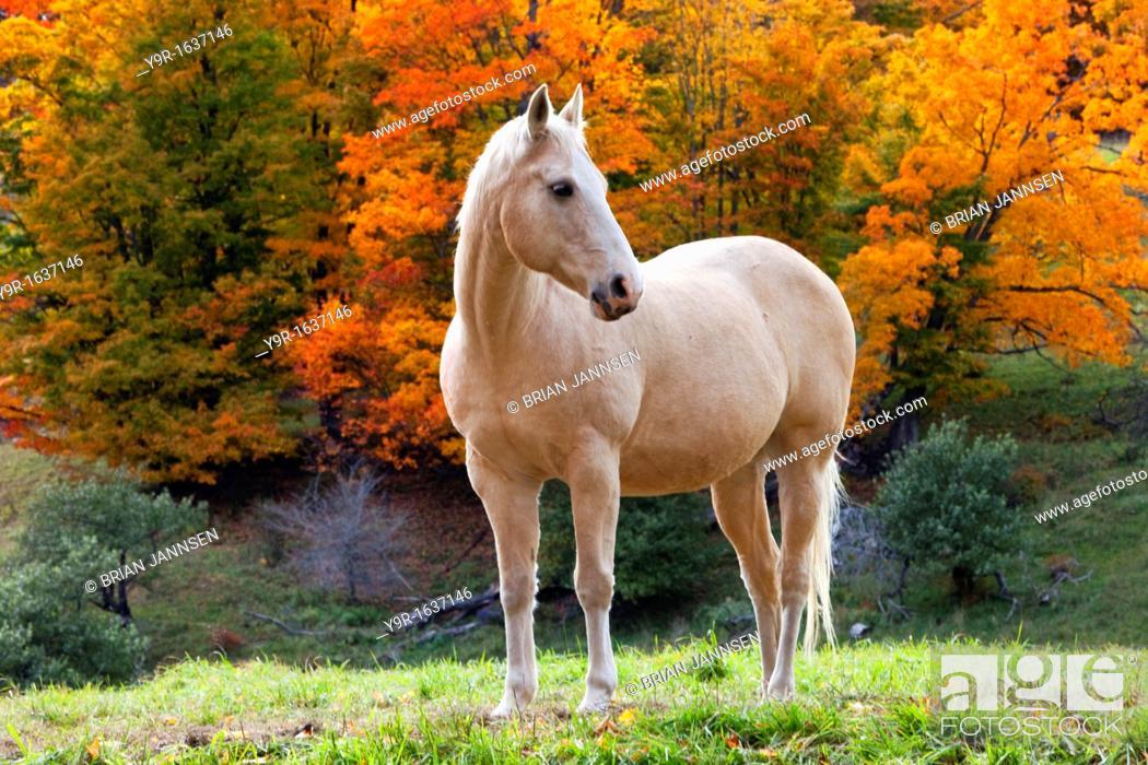 Stock Photo: White mare in autumn near Woodstock, Vermont, USA.