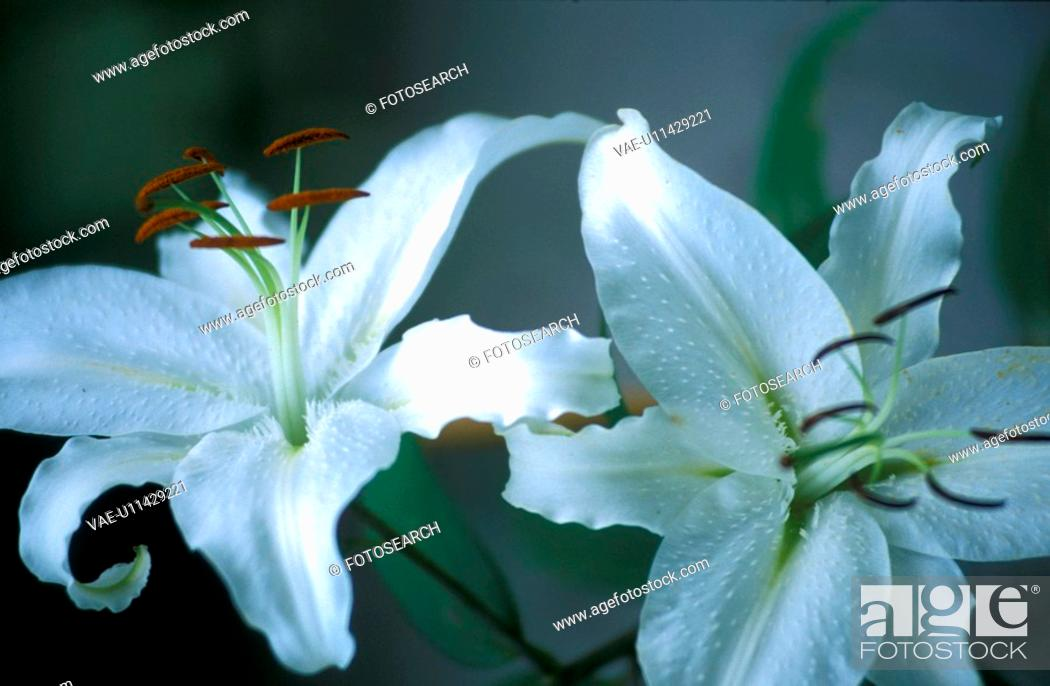 Stock Photo: CLOSE, Bernhard, blossom, blooms, bloom, abloom.