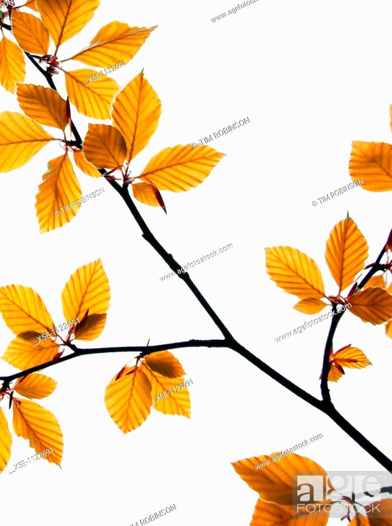 Stock Photo: Close up of new leaves on tree branch, white background.