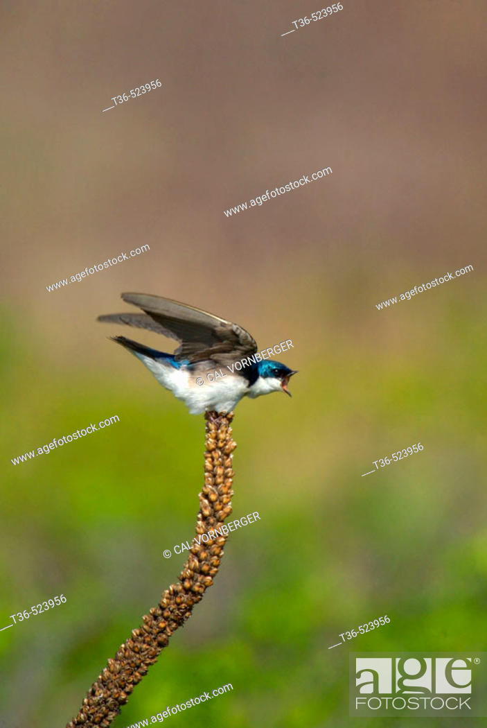 Stock Photo: An angry Tree Swallow (Tachycineta bicolor) perched on a stalk reacts to a nearby rival at New York's Jamaica Bay National Wildlife Refuge.