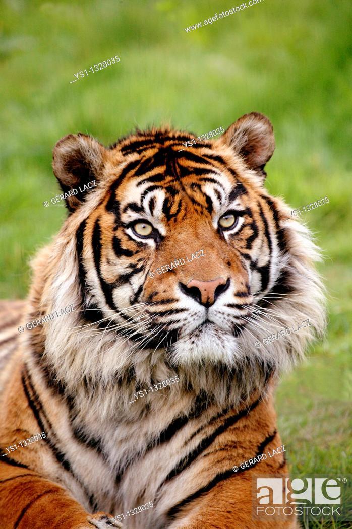 Stock Photo: SUMATRAN TIGER panthera tigris sumatrae, PORTRAIT OF ADULT.