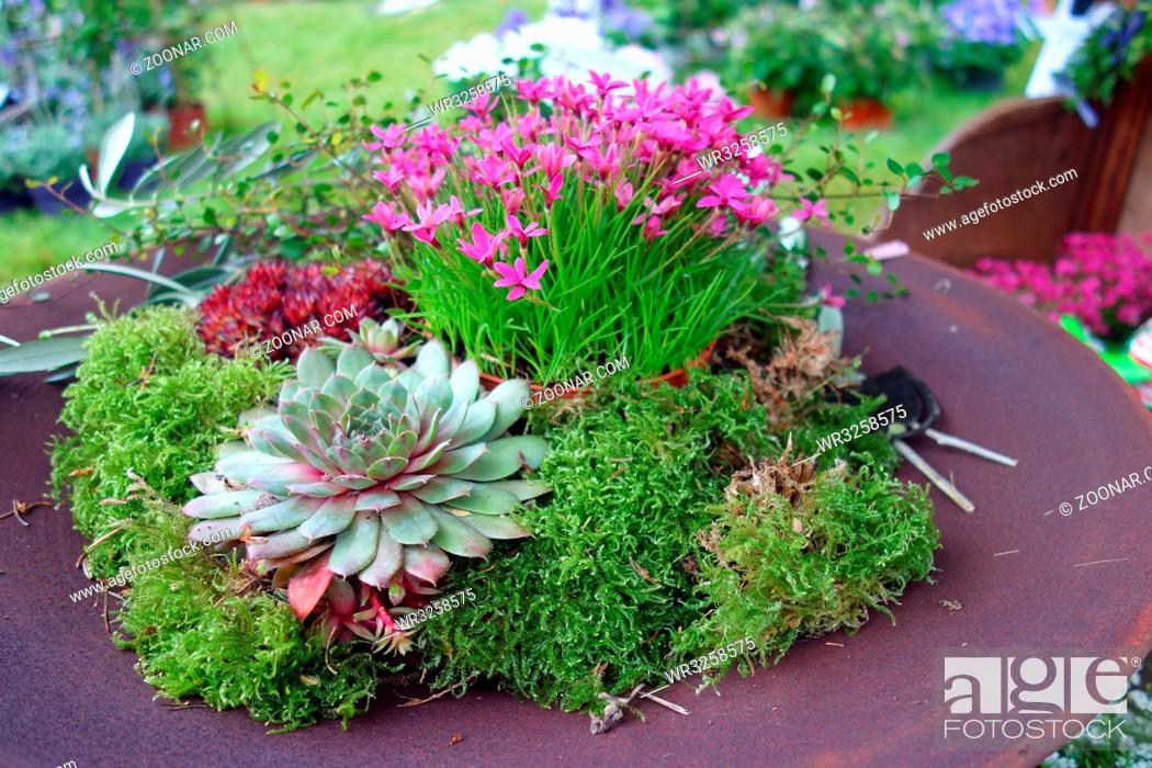 Steinbrech Saxifraga Tisch Gartentisch Tischdekoration Bepflanzt Bepflanzung Dekoration Stock Photo Picture And Royalty Free Image Pic Wr3258575 Agefotostock