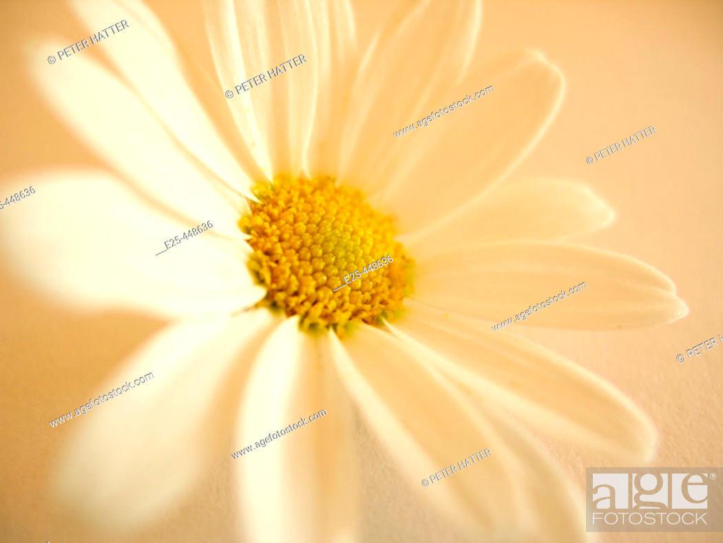Stock Photo: Daisy.
