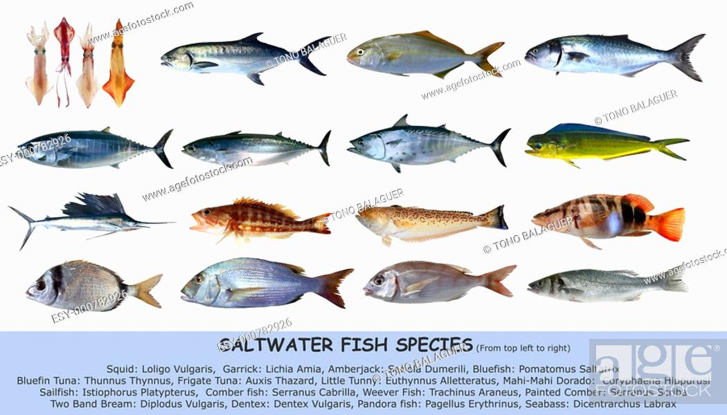 Photo de stock: Fish species saltwater clasification seafood isolated on white.