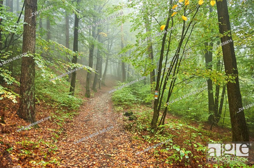 Stock Photo: Landscape of a foggy forest with European beech (Fagus sylvatica) in autumn.