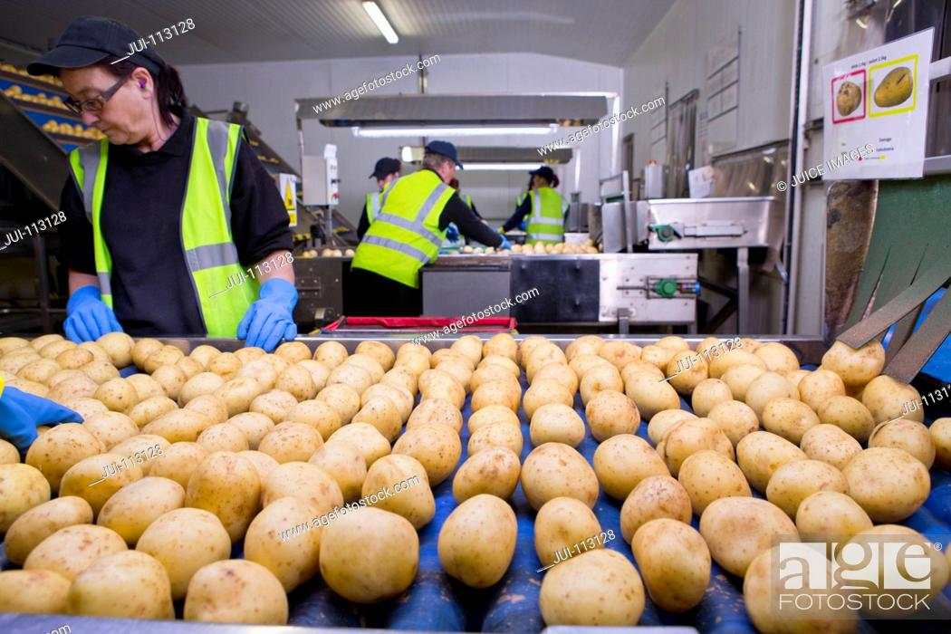 Stock Photo: Quality control workers inspecting potatoes on conveyor belt.