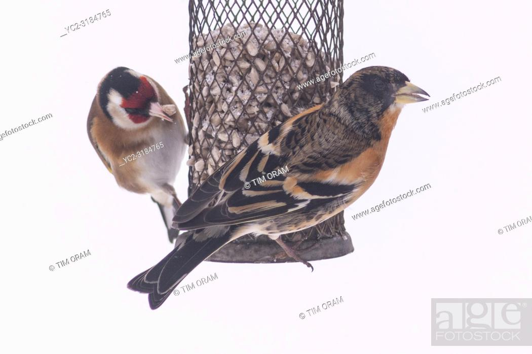 Stock Photo: A Brambling and a Goldfich feeding in a Uk garden in winter.