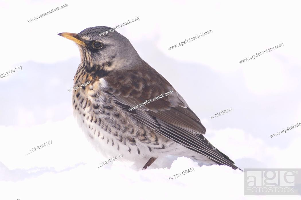 Stock Photo: A Fieldfare (Turdus pilaris) feeding in freezing conditions in a Norfolk garden.