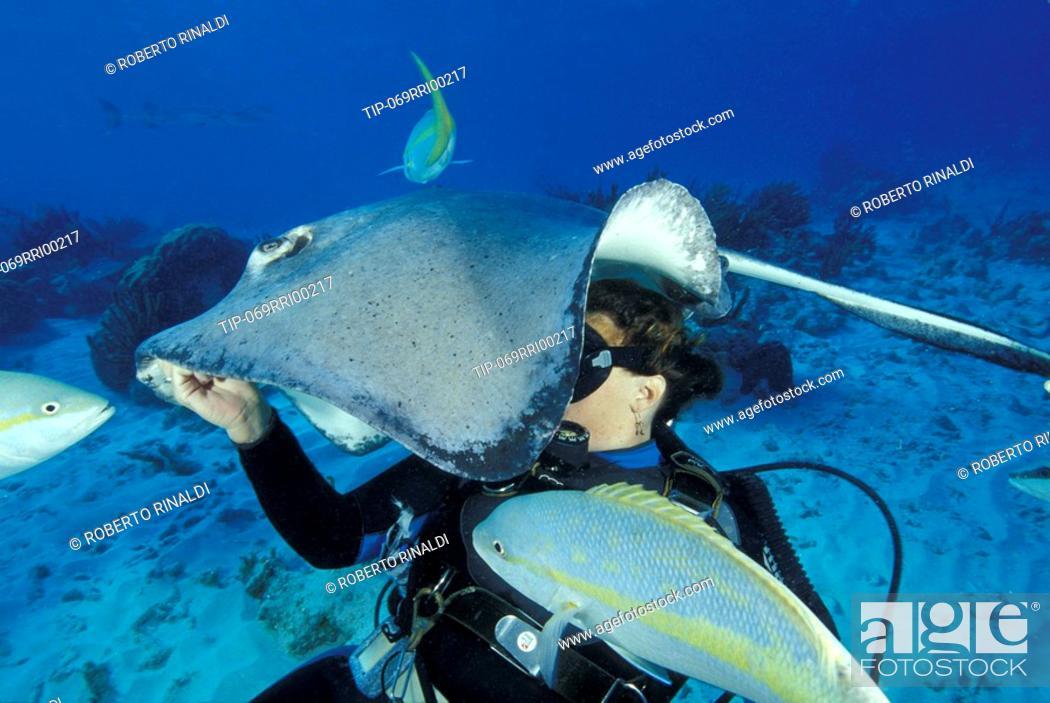 Stock Photo: Diver feeding a sting ray  Dasyatis americana  at Sting Ray City, Grand Cayman.