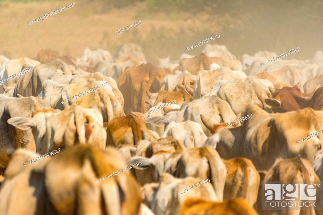 Stock Photo: Cow herd, detail, Bagan, Mandalay Division, Myanmar.