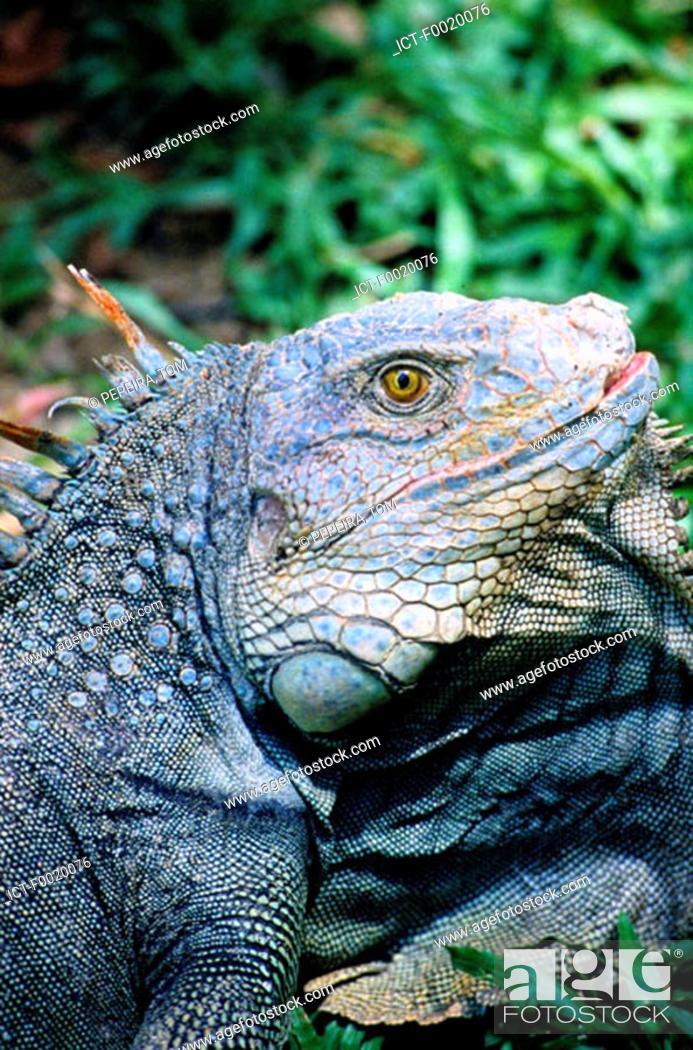 Stock Photo: Costa Rica, Indian reserve, green iguanas breeding.