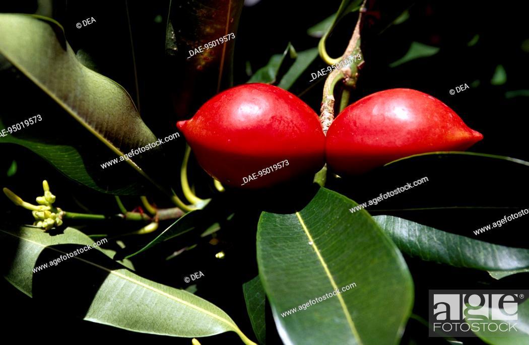 Stock Photo: Leaves and fruits of Elliptic Yellowwood or Kopsia (Ochrosia elliptica), Apocinaceae.